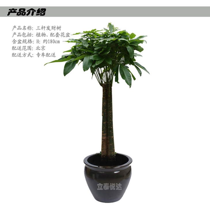 三杆发财树l1231-【图片 价格 品牌 报价】-国美在线